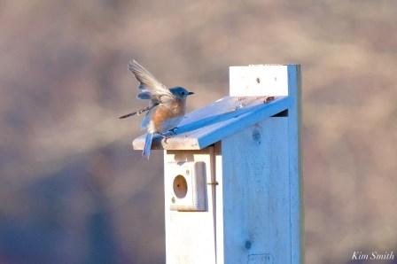 Bluebird Lovebirds Male Female Essex County copyright Kim Smith - 23 of 31