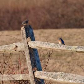Bluebird Lovebirds Male Female Essex County copyright Kim Smith - 3 of 31