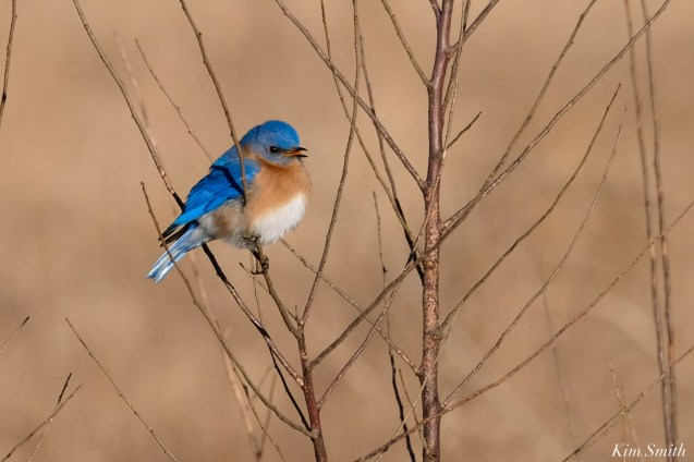 Bluebird Lovebirds Male Female Essex County copyright Kim Smith - 30 of 31