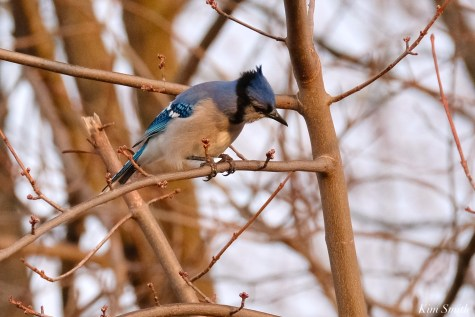 Bluejay copyright Kim Smith - 14 of 15