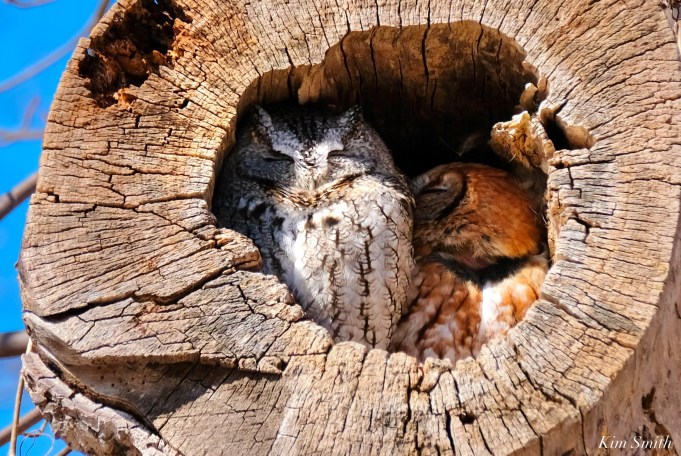 Eastern Screech Owl Red Gray Morph copyright Kim Smith - 5 of 15