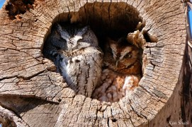Eastern Screech Owl Red Gray Morph copyright Kim Smith - 6 of 15