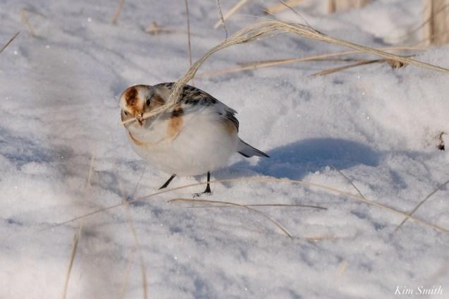 Snow Bunting Snowflakes Massachusetts copyright Kim Smith - 30 of 55