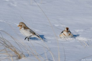 Snow Bunting Snowflakes Massachusetts copyright Kim Smith - 33 of 55