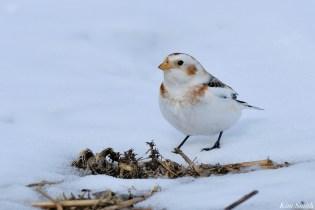 Snow Bunting Snowflakes Massachusetts copyright Kim Smith - 36 of 55