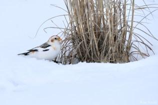 Snow Bunting Snowflakes Massachusetts copyright Kim Smith - 37 of 55