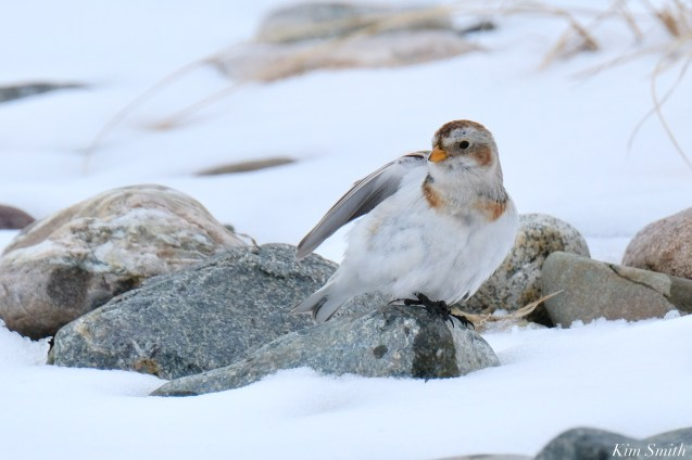 Snow Bunting Snowflakes Massachusetts copyright Kim Smith - 38 of 55