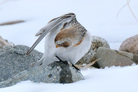 Snow Bunting Snowflakes Massachusetts copyright Kim Smith - 43 of 55