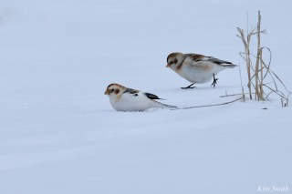 Snow Bunting Snowflakes Massachusetts copyright Kim Smith - 5 of 55