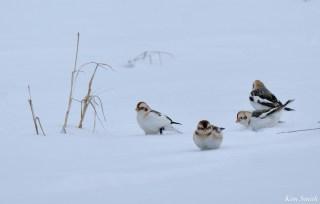 Snow Bunting Snowflakes Massachusetts copyright Kim Smith - 7 of 55