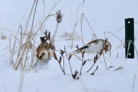 Snow Bunting Snowflakes Massachusetts copyright Kim Smith - 9 of 55