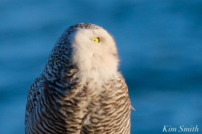 Snowy Owl Essex County copyright Kim Smith - 10 of 14