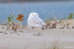 Snowy Owl Essex County copyright Kim Smith - 2 of 14