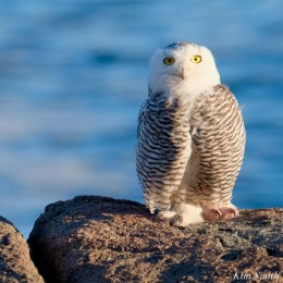 Snowy Owl Essex County copyright Kim Smith - 6 of 14