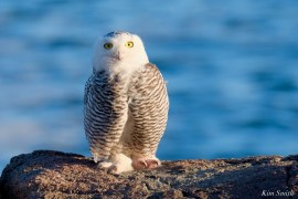 Snowy Owl Essex County copyright Kim Smith - 7 of 14