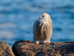 Snowy Owl Essex County copyright Kim Smith - 8 of 14