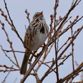 Song Sparrow Cape Ann Essex County copyright Kim Smith - 7 of 12
