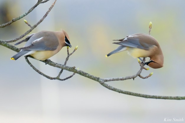 Cedar Waxwing Courtship New England Essex County copyright Kim Smith - 14 of 15