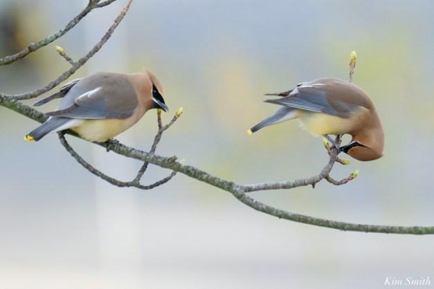 Cedar Waxwing Courtship New England Essex County copyright Kim Smith - 14 of 15