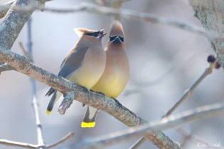 Cedar Waxwing Courtship New England Essex County copyright Kim Smith - 2 of 15