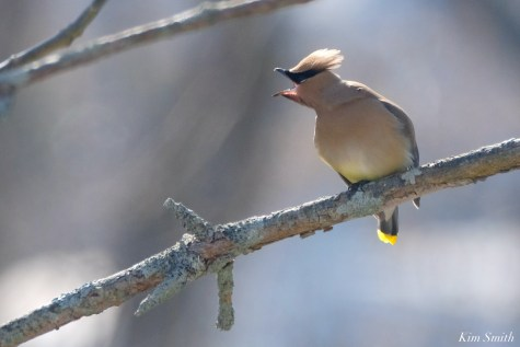 Cedar Waxwing Courtship New England Essex County copyright Kim Smith - 4 of 15