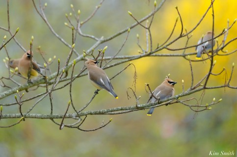 Cedar Waxwings Spring New England Essex County copyright Kim Smith - 2 of 3