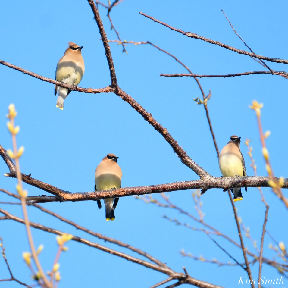 Cedar Waxwings Spring New England Essex County copyright Kim Smith - 3 of 3