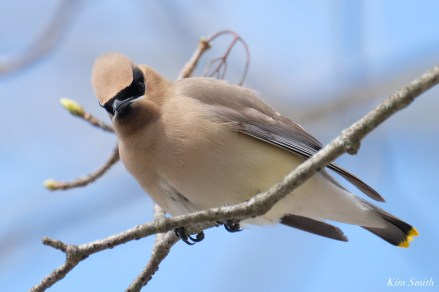 Cedar Waxwings Spring New England Essex County copyright Kim Smith - 7 of 12