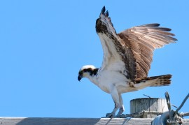 Osprey Courtiship Mating Massachusetts copyright Kim Smith - 1 of 24