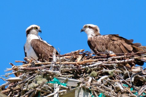 Osprey Courtiship Mating Massachusetts copyright Kim Smith - 15 of 24