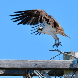 Osprey Courtiship Mating Massachusetts copyright Kim Smith - 3 of 24