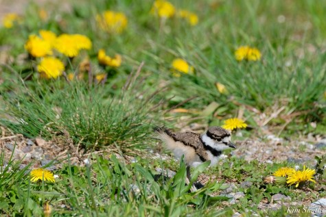 Killdeer Family chicks 5 days old Essex County Massachusetts copyright Kim Smith - 17 of 35