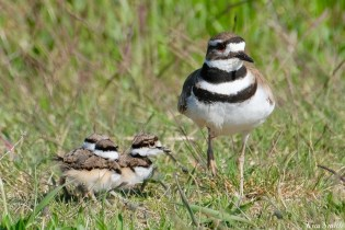 Killdeer Family chicks 6 days old Essex County Massachusetts copyright Kim Smith - 27 of 35