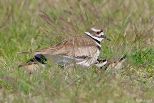 Killdeer Family chicks 6 days old Essex County Massachusetts copyright Kim Smith - 31 of 35
