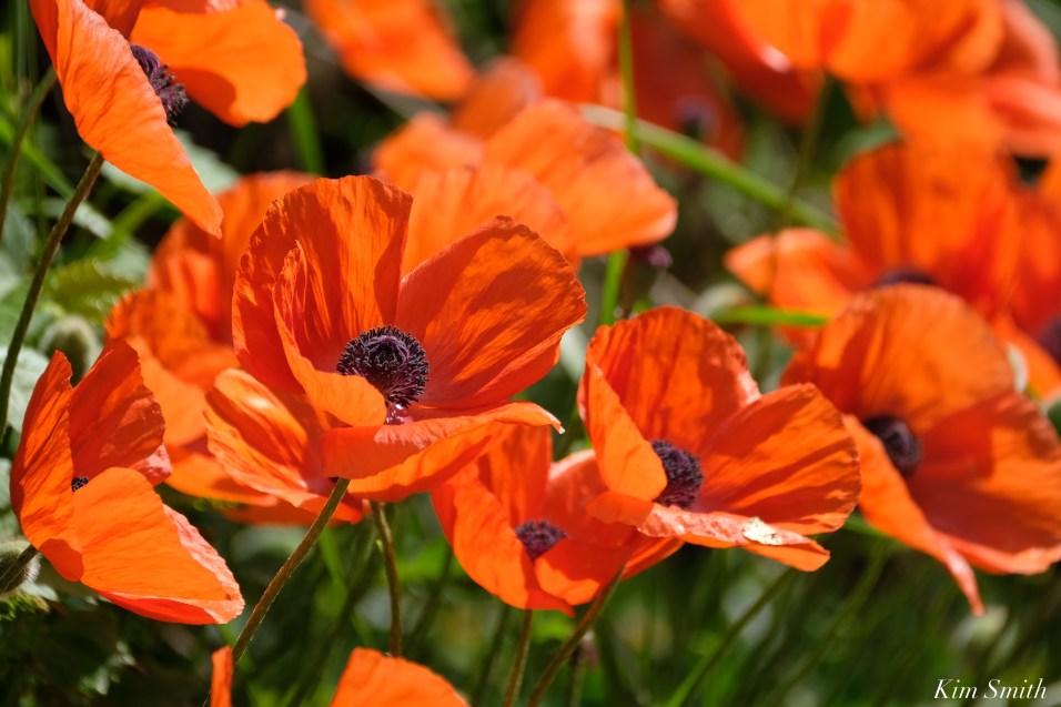 Red Oriental Poppy copyright Kim Smith - 1 of 6