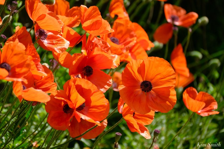 Red Oriental Poppy copyright Kim Smith - 3 of 6