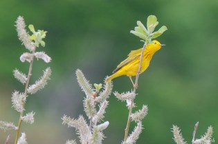 Yellow Warbler and Pussy Willows copyright Kim Smith - 1 of 5