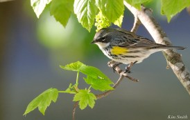 Yellow-rumped Warbler Female copyright Kim Smith - 6 of 6