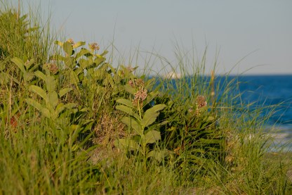 Common Milkweed Asclepias syriaca Essex County Good Harbor Beach copyright Kim Smith - 5 of 5