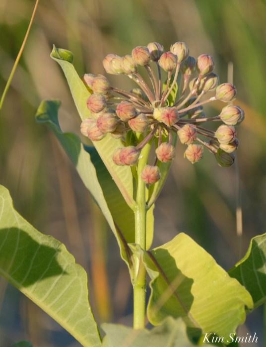 Common Milkweed Asclepias syriaca Good Harbor Beach -2 copyright Kim Smith