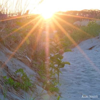 Common Milkweed Asclepias syriaca Good Harbor Beach copyright Kim Smith