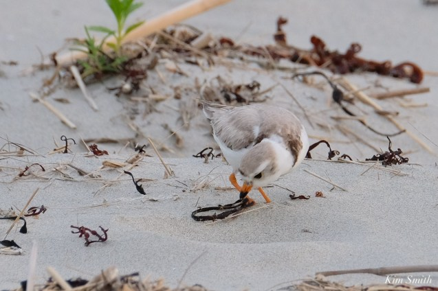 Piping Plover Injured Good Harbor Beach copyright Kim Smith - 2 of 9