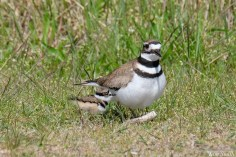 Killdeer Plover Eggs and Chicks Essex County copyright Kim Smith - 10 of 19