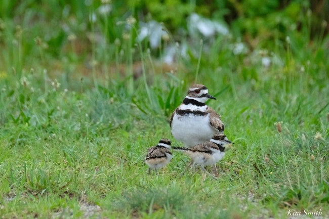 Killdeer Plover Eggs and Chicks Essex County copyright Kim Smith - 17 of 19