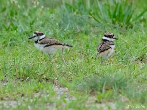 Killdeer Plover Eggs and Chicks Essex County copyright Kim Smith - 19 of 19
