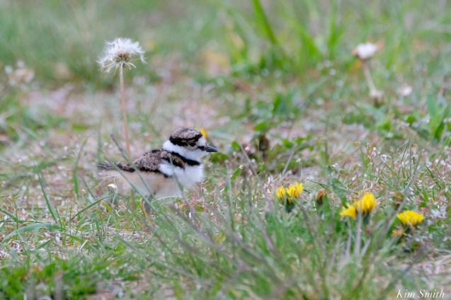 Killdeer Plover Eggs and Chicks Essex County copyright Kim Smith - 5 of 19