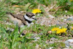 Killdeer Plover Eggs and Chicks Essex County copyright Kim Smith - 8 of 19