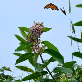 Monarch Butterflies and Bees Common Milkweed Asclepias syriiaca copyright Kim Smith - 6 of 7