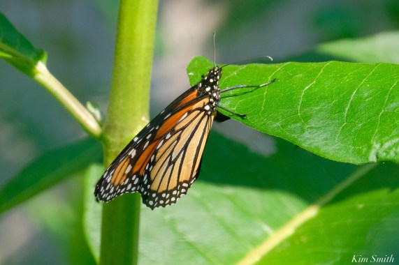 Monarch Butterflies in the Garden depositing eggs Gloucester Essex County copyright Kim Smith - 3 of 3