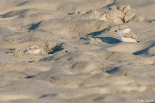 Piping Plovers Salt Island - 10 of 12